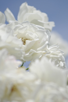 夏の白バラ ~中之島バラ園Ⅱ~