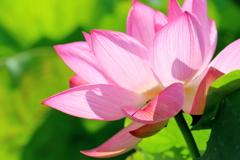蓮の花とアオモンイトトンボ(♀)