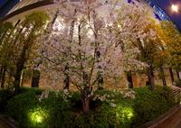 RICOH IMAGING PENTAX K-S1で撮影した(都会の夜桜)の写真(画像)