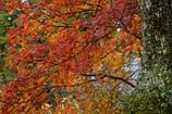 観心寺の紅葉