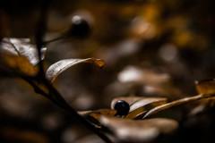 森の黒真珠