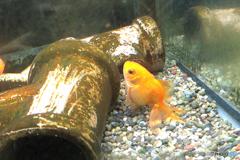 お座り金魚