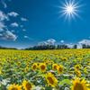Sun&Sunflowers