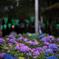 白山紫陽花