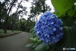 まだ咲いてる紫陽花