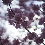 SONY ILCE-7で撮影した(泡玉と桜)の写真(画像)