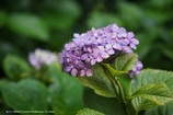 小ぶりな紫陽花