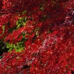 RICOH IMAGING PENTAX K-3で撮影した(紅葉7)の写真(画像)