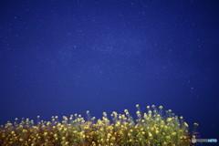 夜の菜の花畑