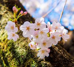 2018.03.25 目黒川 桜