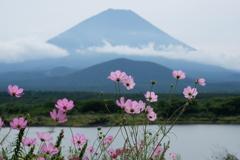 富士と秋桜