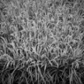 京都 向島 たわわに実る稲。