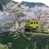 ムーミン桜を行く
