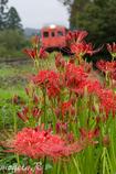 曼珠沙華の咲く時