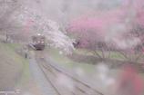 桜のレース