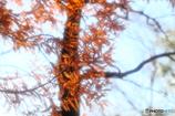 秋色のメタセコイア