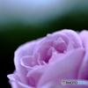 mediumpurpleのバラ