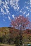 山の桜葉は赤い