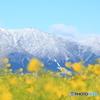 雪化粧した比良山地と菜の花