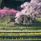 歴史を感じる桜