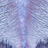 雪化粧したメタセコイア並木