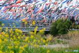 たくさんの鯉のぼりが泳ぐ風景