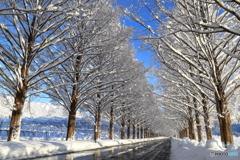 メタセコイア冬景色