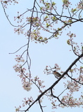 お花見アトリ2