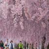しだれ桜の散歩道