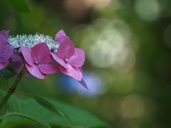 紫陽花をみつめて。