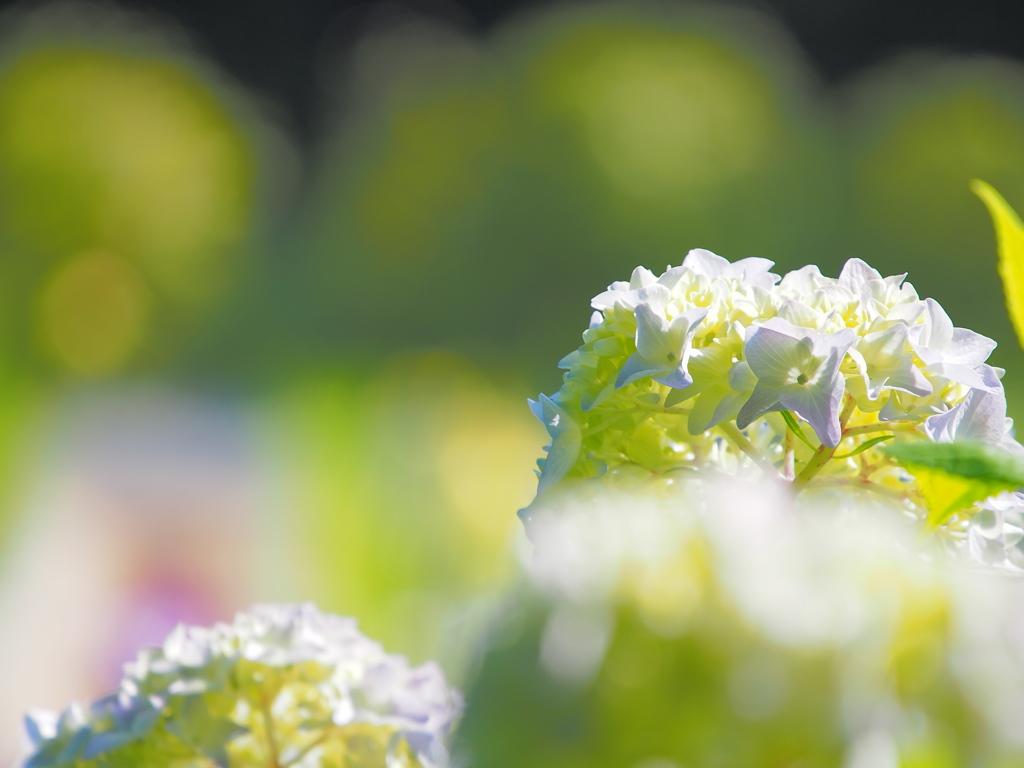 紫陽花 ☆ キラリ