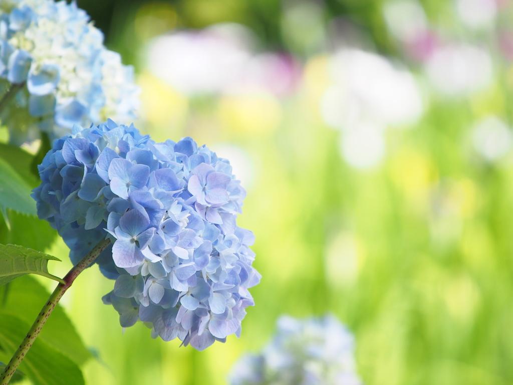 青い☆紫陽花