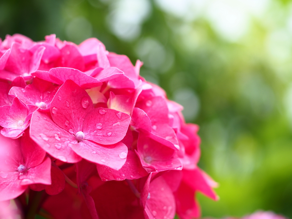 紫陽花☆雨音つれて。。。