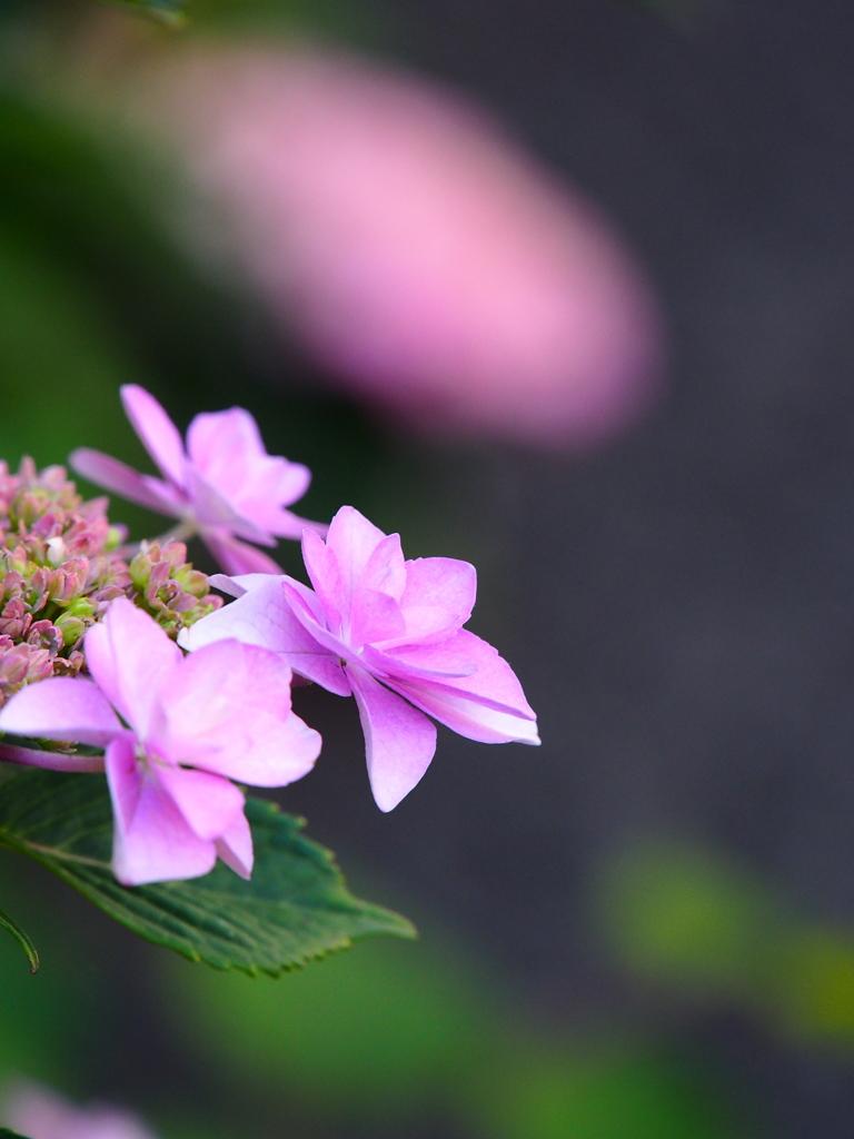 紫陽花☆序章