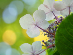 紫陽花たちの微笑み。