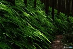八曽山  ウラジロの森