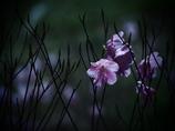 淡き想い  -散り際の花-