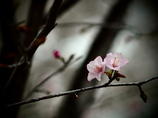 TAKUMARで撮る  - 春に夢見し -