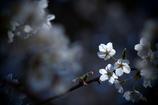 TAKUMARで撮る Cherry blossoms