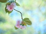 君に贈る  -桜のブーケ-