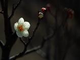 春光 -梅花一輪- ❷