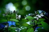 紫陽花  -共存-  ②