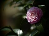 TAKUMARで撮る - ピンクの重なり -