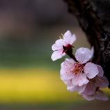 桜待ちの梅花  ①