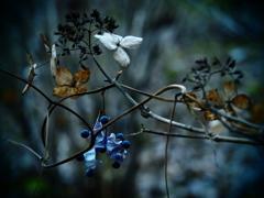 枯れ紫陽花とblue beans