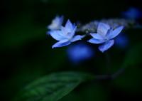 OLYMPUS E-M5で撮影した(六月の青い星☆彡  - 七段花 -  ⑤)の写真(画像)