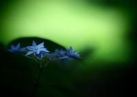 OLYMPUS E-M5で撮影した(六月の青い星☆彡 - 七段花 -  ①)の写真(画像)