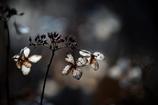 回らない風車 -枯れ紫陽花- 其の三