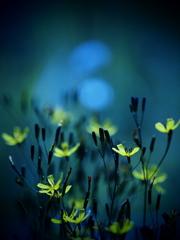 アリフレタ花