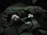 枯れ紫陽花 - forever -